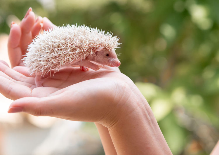 Cropped hands of woman holding hedgehog