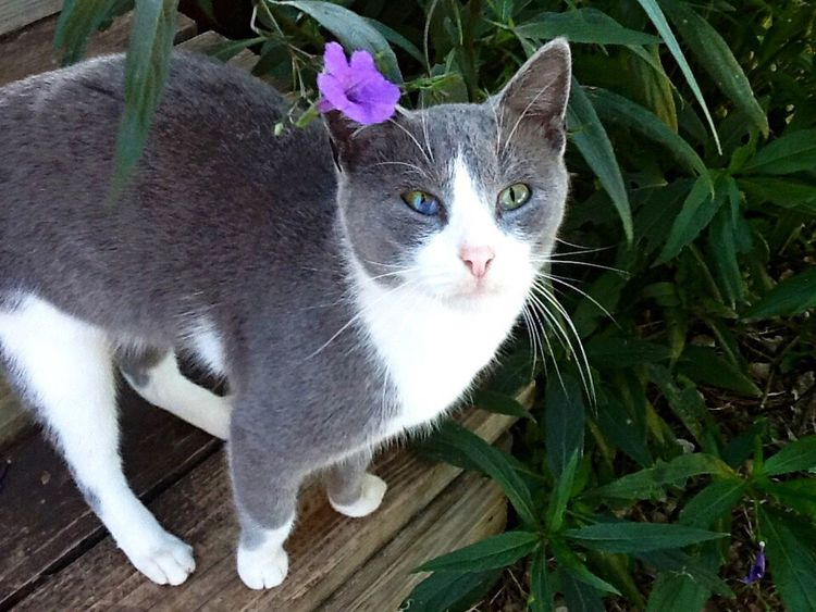 Ranchcat Grey And White Cat Beautifulphoto Animal Photography Cat Lovers Cat Cats Of EyeEm Catsoftheworld Simple Photography Natural Photography Flowers Purpleflower Relaxing Enjoying Life Texascountry Simplemoments Simple Beauty Ranch Life Countrygirl Simple Things In Life Pretty Eyes