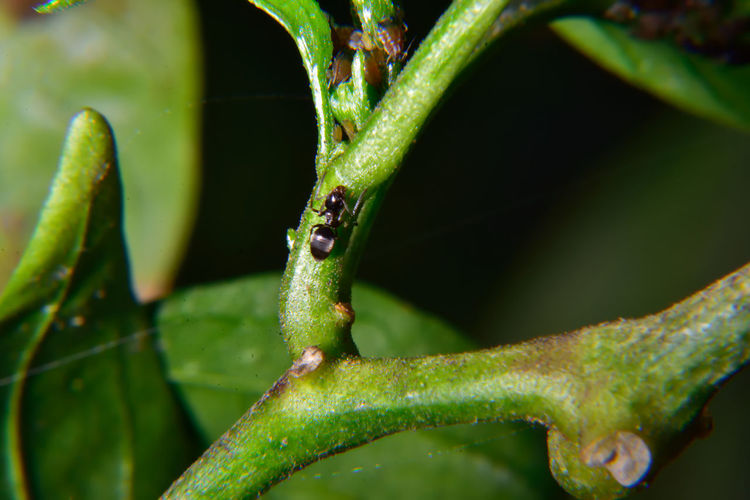 Daylight Flash Blasted Abugslife Ants Beginnings Close-up Focus On Foreground Green Green Color Growing Insect Leaf Macro Photography Nature New Life Nikon Nikon D7200 No People Pest Control Plant Ripe Selective Focus How Do You See Climate Change?