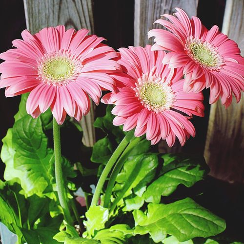 Happy Friday 🙋🏼 Gerbera Daisies Flower Plant Freshness Fragility Pink Color Close-up Outdoors Inflorescence Beauty In Nature