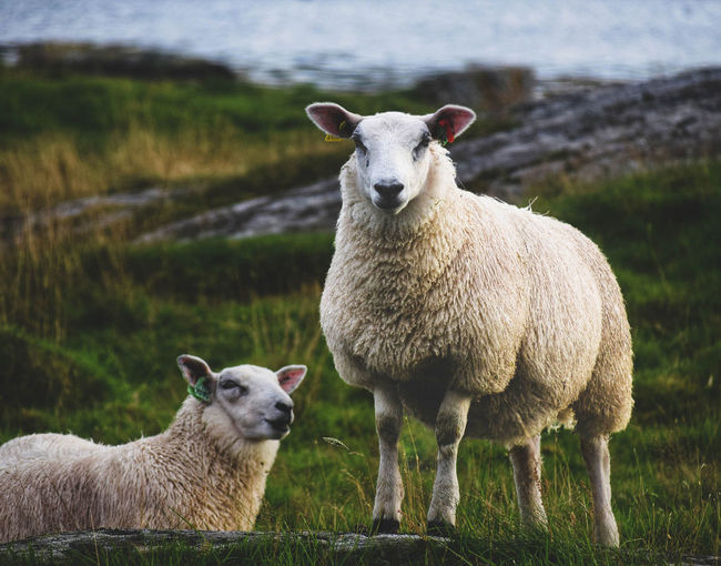 Animal Animal Themes Day Domestic Domestic Animals Field Focus On Foreground Grass Group Of Animals Herbivorous Lamb Land Livestock Mammal Nature No People Outdoors Pets Plant Portrait Sheep Vertebrate