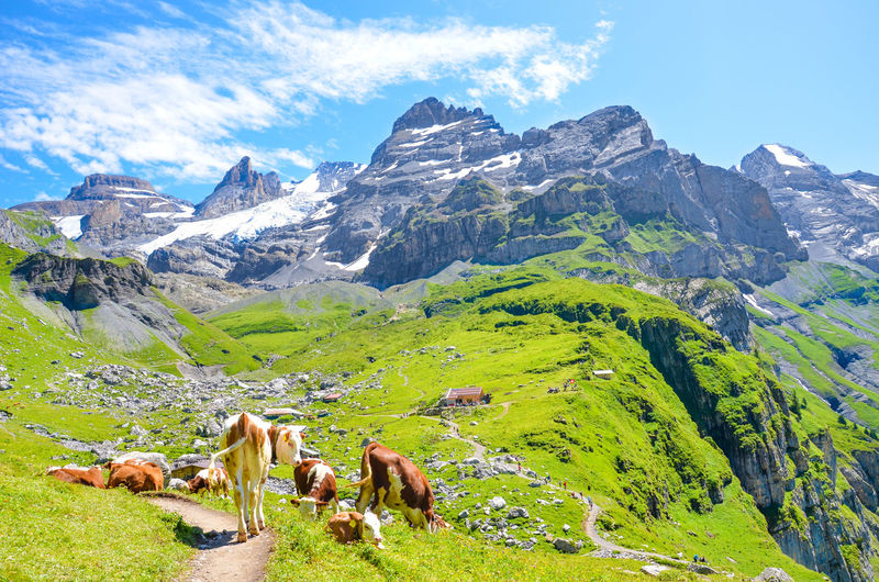 Cows grazing on mountain