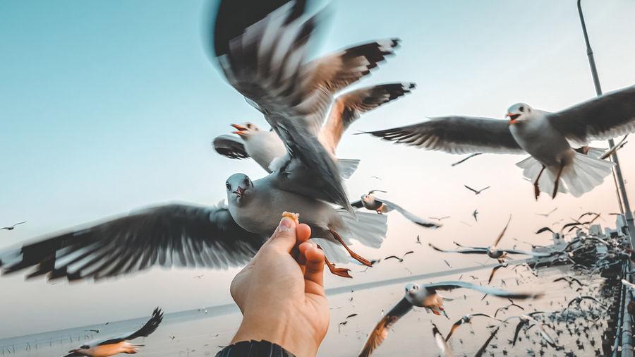 Hand feeding seagull
