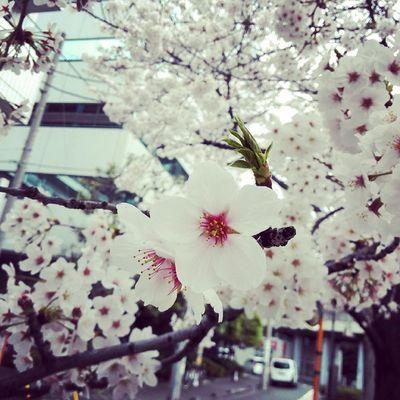 """Sakura """"桜"""" Cherryblossom Sakura Spring Flower Nature"""