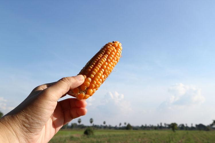 corn Human Hand Cereal Plant Ice Cream Cone Corn Frozen Food Summer Vegetarian Food Corn On The Cob Vegetable Mid Adult