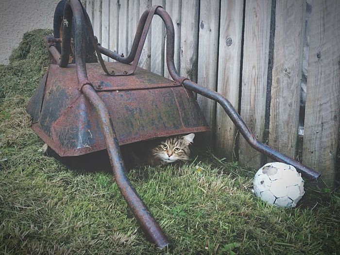 Abandoned Outdoors Grass No People Day Nature Mammal Nature EyeEm Selects Scotland Garden Pets Cat♡ion] Mainecoon Mainecooncat Iohone 5s Home
