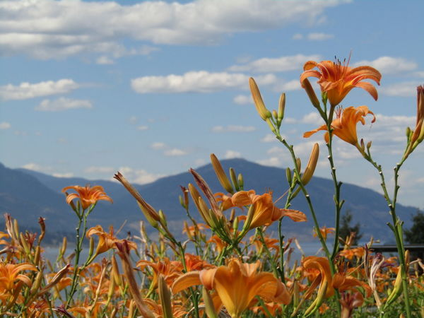 Beauty In Nature Blooming Close-up Day Day Lily Field Flower Flower Head Fragility Freshness Growth Nature No People Outdoors Petal Plant Sky