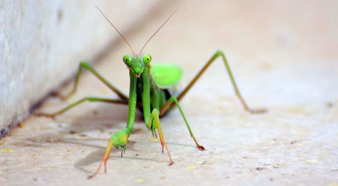 Insect Animal Wildlife Animal Themes Animals In The Wild Green Color One Animal Close-up Outdoors Nature Praying Mantis Mantis Mantis Collections MantisReligiosa Mantislover Mantis Pose Nature_collection Insect Photography Insects Collection Insect Macro  Insects Beautiful Nature