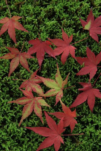 auntumn in japan Maple Leaf Maple Leaf Autumn Red Change Close-up Plant Green Color Maple Tree Blooming Fall Flower Head Single Flower