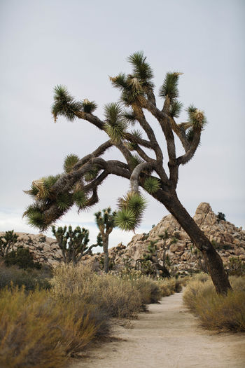 Desert Joshua Tree National Park Beauty In Nature Clear Sky Day Desert Desert Landscape Grass Growth Joshua Tree Landscape Nature No People Outdoors Scenics Sky Tranquil Scene Tranquility Tree