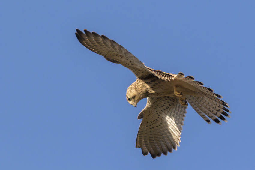 A common krestel is searching for fodder Bird Photography Falcon Fly Nature Animal Themes Animals World Birds Life Birds_collection Common Krestel Falco Tinnunculus Falcons Flight Flying Fodder Landscape Outdoors Plumage Raptorial Bird Raptorian Bird Raptorsonraptors Searching