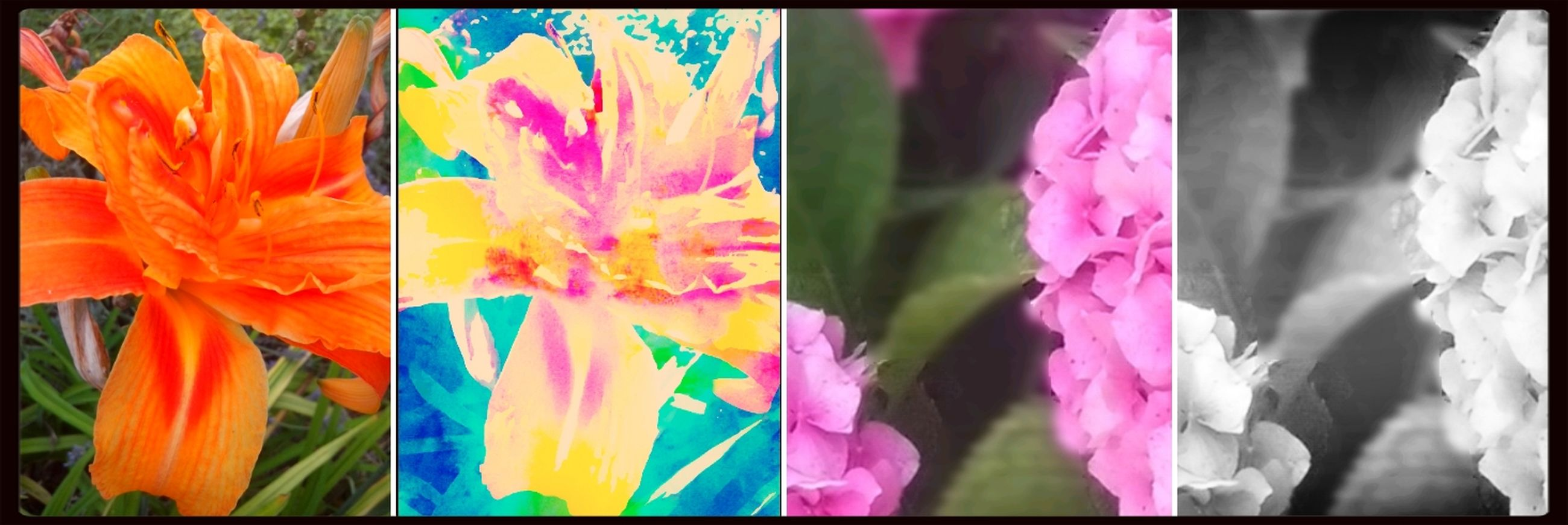 transfer print, auto post production filter, flower, multi colored, petal, fragility, freshness, close-up, flower head, variation, growth, yellow, colorful, plant, no people, day, nature, beauty in nature, outdoors, blooming