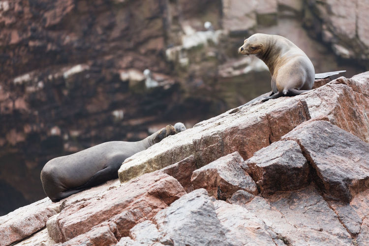 High Angle View Of Seals On Rock Formation