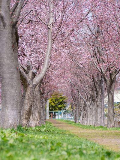 Nature Photography Nature OLYMPUS E-PL6 Olympus Hokkaido,Japan Iwamizawa Flower Photography Flower 北海道 岩見沢 Sakura2016 桜