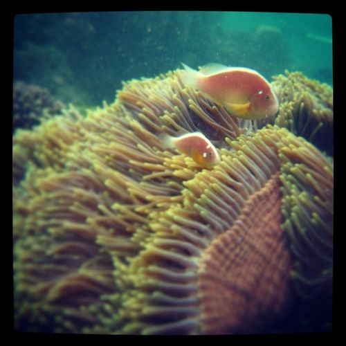 Like father like son haha.. Nemo 'sfriend Seaweed Insidethesea Coral findingnemo diving