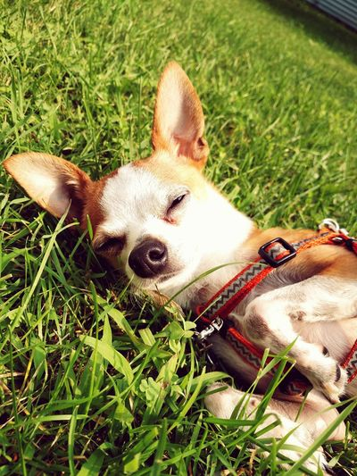 Summer Dogs lounging in the grass and soaking up the sun Chihuahua Love ♥ Dogs Of EyeEm Happy Adorable Relaxing Pet Photography  Cute Pet Dog Summer Dogs Chihuahua Summer Grass Pet Collar Puppy Purebred Dog Lap Dog Canine