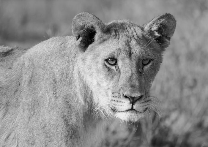 Close-up of an isolated lion in black & white Africa Animals Animals In The Wild Blackandwhite Close-up Conservation D Desert Drawing Environmental Conservation Etosha G HEAD Lion Mammals, Monochrome Namibia Nationalpark Park Reservoir Safari Southern White Wilderness Zoology