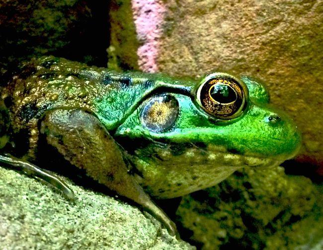 Hello Mr Bullfrog Frog Amphibian Green Hiking Ribit