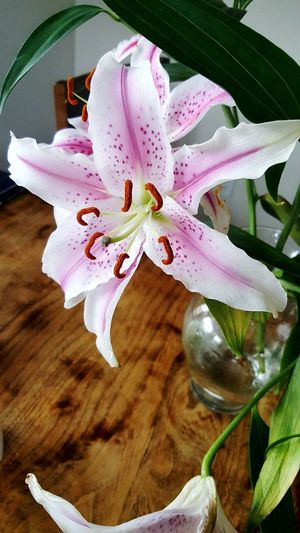 stargazer lily Stargazer Lily Picture Flower Fragility Petal Beauty In Nature Growth Freshness Nature Flower Head No People Close-up Plant Day Springtime