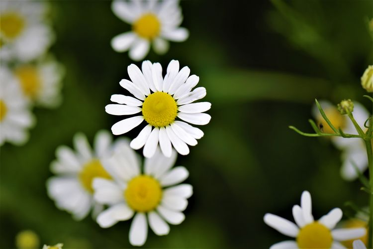 Flower Head Inflorescence Close-up Daisy Nature Pollen Beauty In Nature Growth Plant Vulnerability  Fragility Flowering Plant Flower No People Yellow Outdoors Freshness Petal White Color