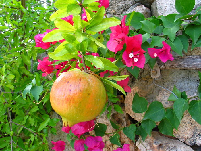 Granatapfel Frucht Früchte Pomegranate Garden Garten Vitamine Gesund Gesundheit Fruit Growth Nature No People Outdoors Food Healthy Eating