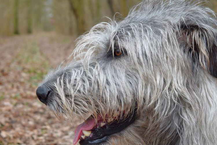 One Animal Animal Themes Domestic Animals Animal Head  Close-up Outdoors Dogwalk Dog Of The Day Dogs Of Winter Dogs Of EyeEm Dogslife Irish Wolfhound Cearnaigh Deep In The Woods Forest Bokeh
