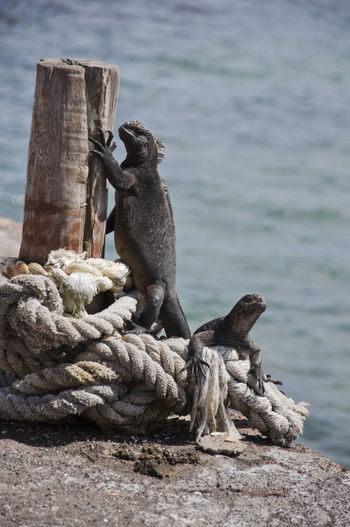 Sunbathing Iguanas on the Dock Animals In The Wild Boat Dock Climb Day Dock Focus On Foreground Full Length Galapagos Iguana Nature Perching Reach Rope Sea Side View Sunbathe Two Animals Water Wood - Material Wooden Post