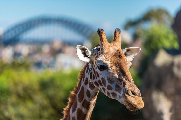 Close-up of giraffe outdoors