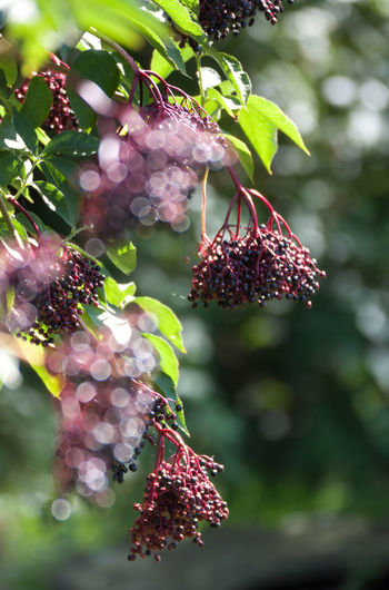 Summertime Beauty In Nature Berry Fruit Bokeh Branch Close-up Focus On Foreground Food Food And Drink Fragility Freshness Fruit Green Color Growth Harvest Healthy Eating Lilac Berries Natural Bokeh No People Outdoors