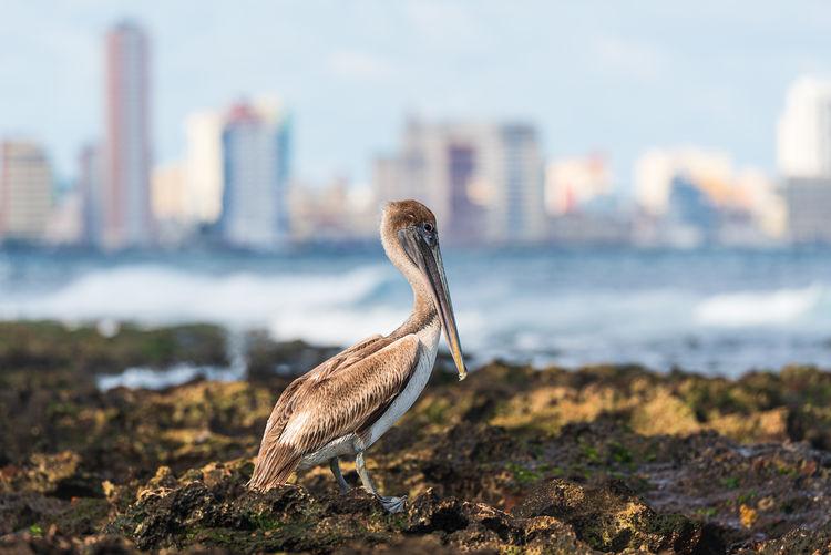 Pelican by sea shore against havana's skyline