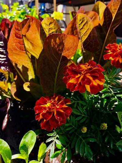 Close-up of orange flowering plant leaves during autumn