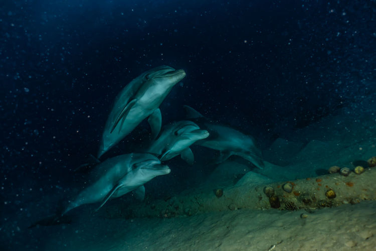 Dolphins swimming with divers in the red sea, eilat israel a.e