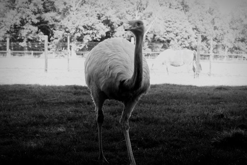 Nandoe Mammal Animal Themes One Animal Animals In The Wild Bird Nature Grass No People Day Animal Wildlife Ostrich Beauty In Nature