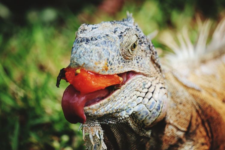 hungry iguana EyeEm Selects Reptile Portrait Red Multi Colored Iguana Close-up Animal Tongue Lizard Sticking Out Tongue