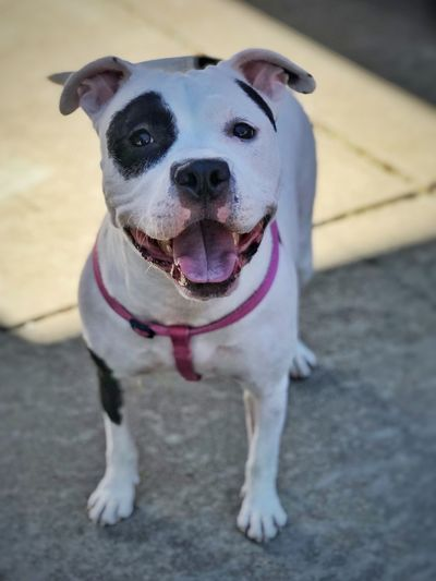 what kind of friends are the best? the ones with four feet 🐾🐕 Mans Best Friend Happy Happy Dog Eyepatch Princess.thepit Petey Little Rascals Smiling Dog Pitbullsofficial Pitbull Love Pitbullsofinstagram Pitbull Dog Canine Pets Domestic Animals Domestic Mammal One Animal Portrait Looking At Camera No People