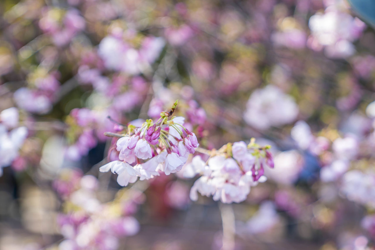 flowering plant, flower, plant, fragility, freshness, growth, vulnerability, beauty in nature, close-up, petal, pink color, day, nature, flower head, botany, springtime, no people, blossom, selective focus, tree, outdoors, purple, cherry blossom, cherry tree, bunch of flowers, pollination