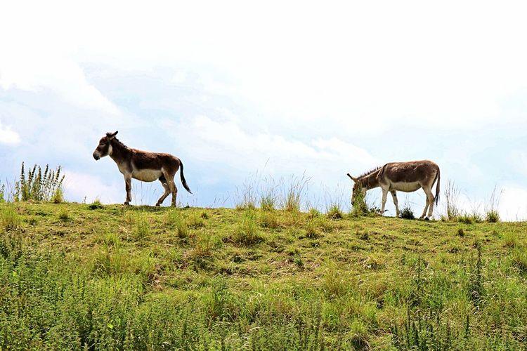 donkeys on hill