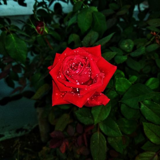 rose with water droplets Rosé Naturephotography HDR Single Hdr_professional PhonePhotography ArtWork Rose - Flower Rose🌹 Roses🌹 Redrose  Darkness And Light Flash Photography Flower Red Drop Rose - Flower Petal Leaf Nature