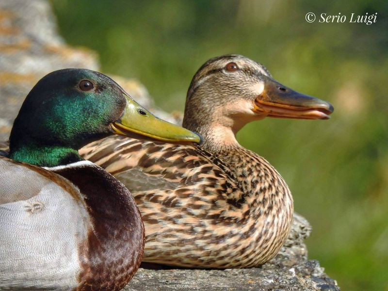 Duck Family Bird Photography Beauty In Nature