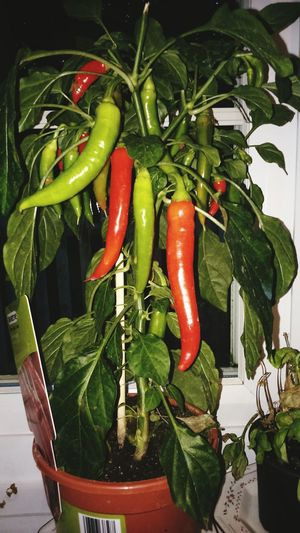 Chilli Grown Plant Food And Drink Green Color Vegetable Healthy Eating Food Red