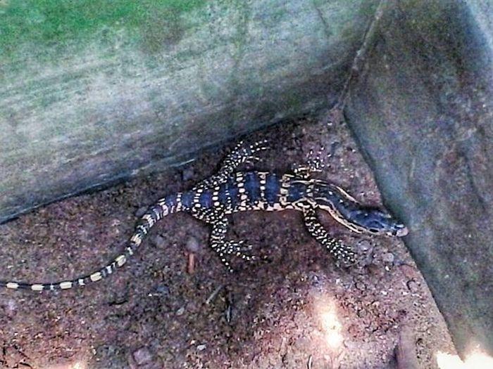Tamu tak diundang! Varanus Varanussalvator Biawak Watermonitor