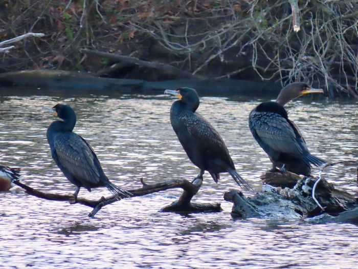 Three wise men? Three birds cormorants perched on a bare wooden tree branch water ripples birds of EyeEm bird photography animal themes outdoors Animal Wildlife Group Of Animals Beauty In Nature No People