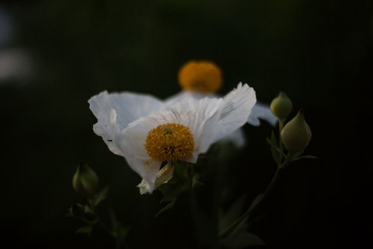 White flowers in the dark Black Background Close-up Dark Flower Flower Bulbs Flower Head Focus On Foreground Fragility Freshness Low Light Nature No People Petal Shallow Depth Of Field White Yellow