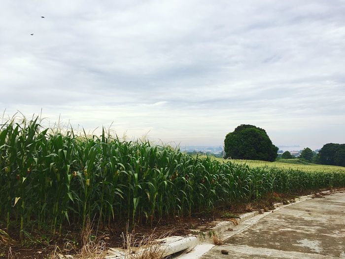 Cornfield 🌽 Grass Nature Beauty In Nature Plant Iphonephotography Countryside Calm Tuesday