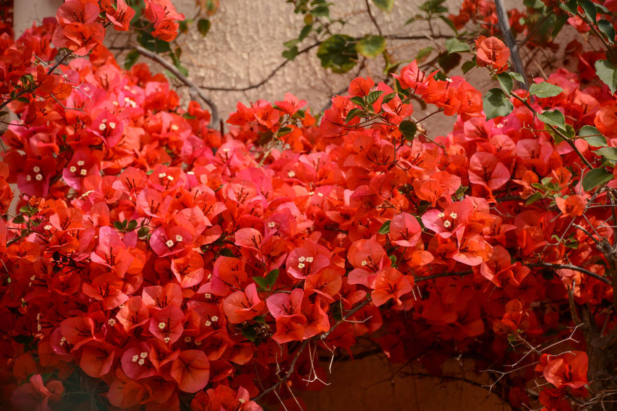 Bougainvillea in south of France Beauty In Nature Blooming Bougainvillea Bouganvillea Close-up Day Flower Flower Head Fragility Freshness Growth Mediterranean  Nature No People Outdoors Petal Plant Red South Of France
