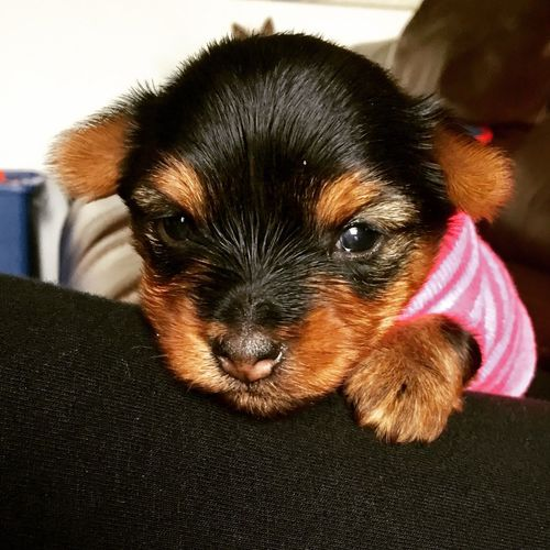 Adorable YORKIES Cute Pets Pets Puppies! Yorkshireterrier Close-up Yorkie Puppie YorkieBestShots Puppy❤ Puppy Love Puppy Face Dog Yorkshire Life One Animal Animal Yorkie