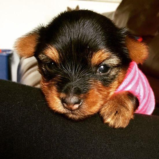Adorable YORKIES Cute Pets Pets Puppies! Yorkshireterrier Close-up Yorkie Puppie YorkieBestShots Puppy❤ Puppy Love Puppy Face Dog Yorkshire Life One Animal Animal Yorkie