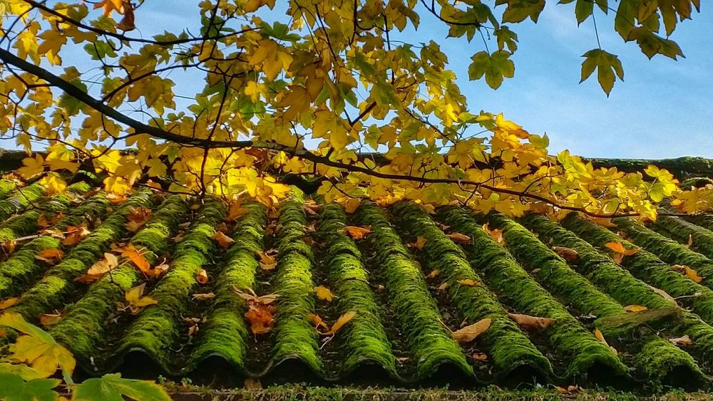 Mossy Roof. (Viewed from arms length it looks like a field) Pattern Pieces Autumn Leaves Autumnbeauty Moss EyeEm Nature Lover Autumn 2015 Moss & Lichen Autumn Collection Fall Leaves Autumn🍁🍁🍁 Mossandlichen Mossporn Moss-covered Color Of Autumn With Big Steps To Autumne🍃🍂 Fall Colors Autumn Colors Golden Hour Malephotographerofthemonth Fall Beauty Autumn