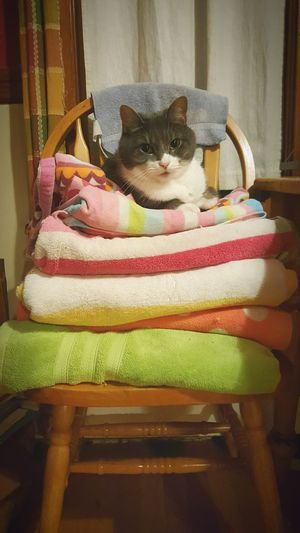 Domestic Animals Pets One Animal Animal Themes Domestic Cat Indoors  Sitting Front View Feline Cat Looking At Camera Comfortable Resting Cat♡ Cat Lovers Cats Of EyeEm Cats 🐱 Lounging Around Towel Animal