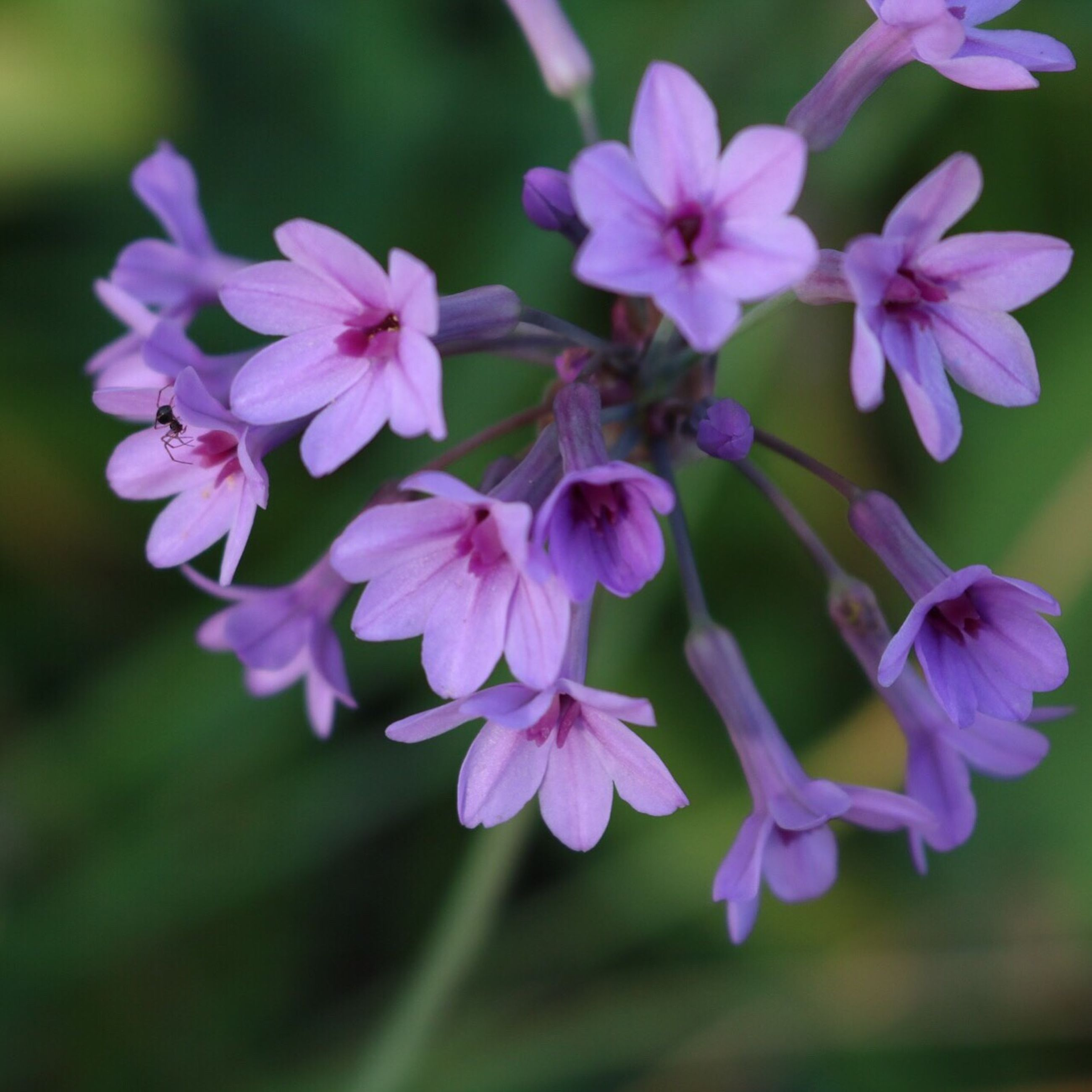 flower, freshness, fragility, nature, beauty in nature, growth, petal, close-up, purple, blooming, no people, flower head, day, outdoors